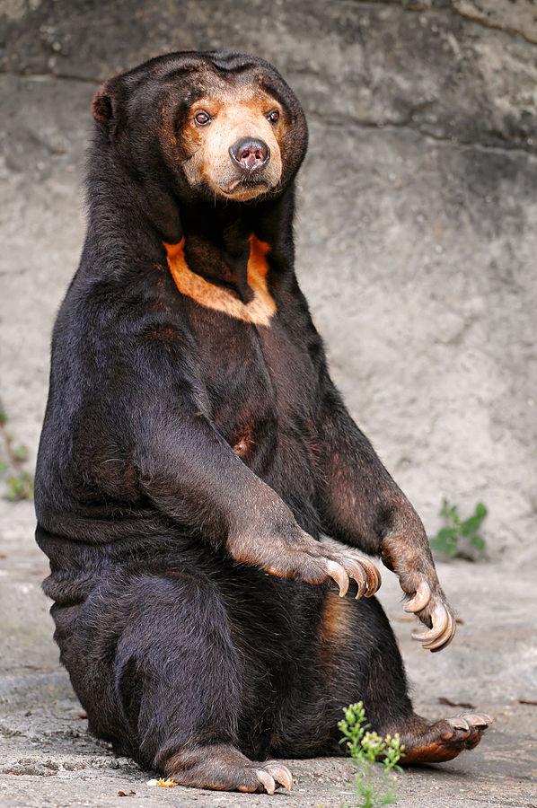 Urso-malaio (foto: Wikipédia)