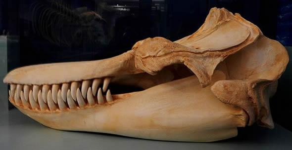 Esqueleto de orca (fotoReprodução/Wikipédia)