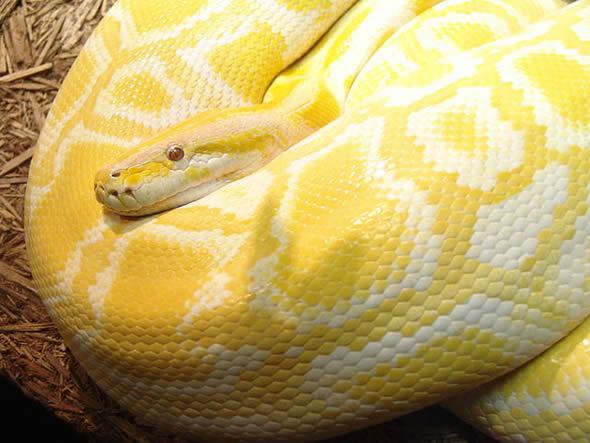 """Cobra chamada erroneamente de """"albina"""" nasceu, na verdade, com amelanismo. (Foto: Reprodução/Wikipédia)"""