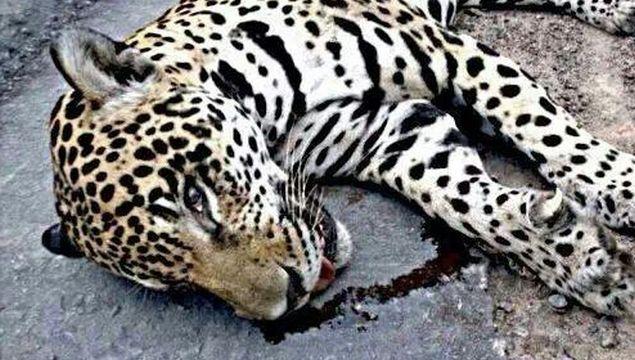Essa seria a Onça Juma, morta por soldados do Exército! Será? (Foto: Reprodução/Facebook)