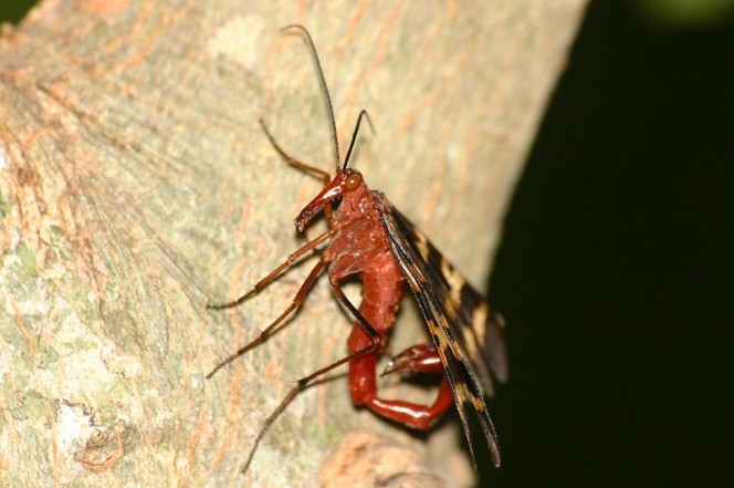 Scorpionfly2