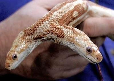 Cobra de duas cabeças encontrada no Pantanal em 1983