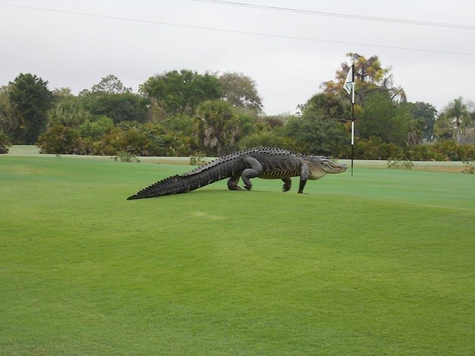 Jacaré avistado em um Campo de Golf em Englewood, Florida março 2015 / Reprodução