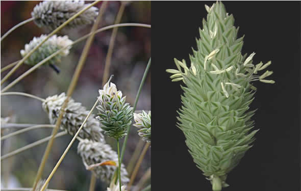 A planta do alpiste
