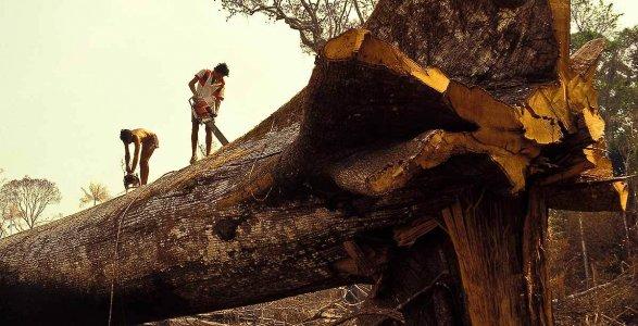 Madeireiros teriam derrubado acidentalmente a árvore mais antiga do mundo na Amazônia! Será verdade? (foto: reprodução/Facebook)