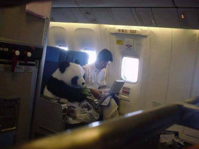 Será verdade que um panda viajou sentado numa poltrona de avião?