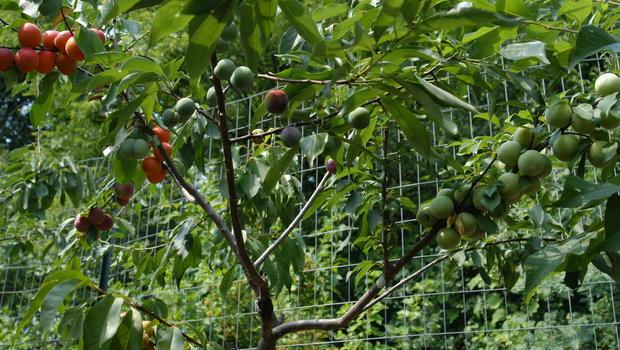 Plantas com variedades de frutas desenvolvidas por Aken! (foto: divulgação)