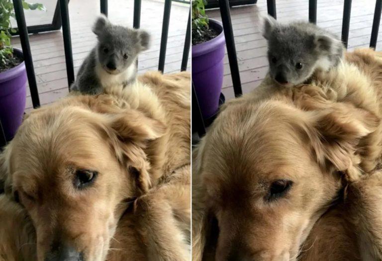 Um cachorro salvou recentemente a vida de um bebê coala na Austrália?