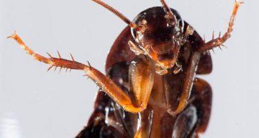 Barata venenosa teria sido descoberta por cientistas brasileiros! Será verdade? (foto: Reprodução/Facebook)