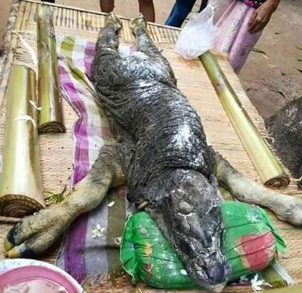 Criatura metade búfalo metade crocodilo foi capturada na Tailândia! Será? (foto: Reprodução/Facebook)