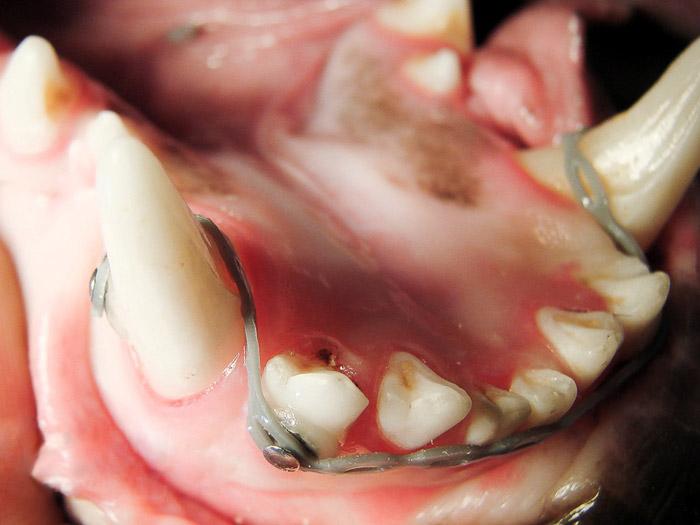 Aparelho dentário ajuda a corrigir problemas na mordedura dos animais de estimação! (foto: Divulgação/R7)
