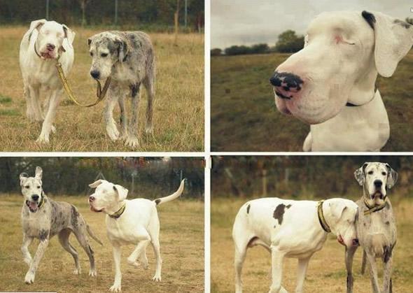Cachorro cego e seu cão-guia!