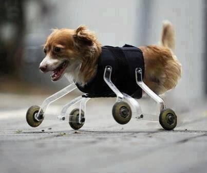 Cachorro sem as patas usando prótese com rodinhas! Verdadeiro ou falso? (foto: Reprodução/Twitter)