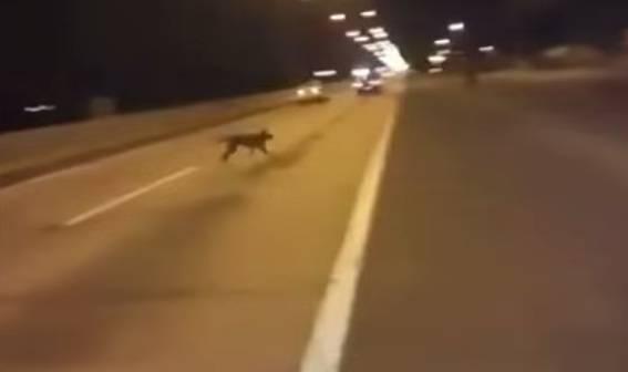 Vídeo mostra um cachorro se teletransportando para escapar de um atropelamento! (foto: Reprodução/YouTube)