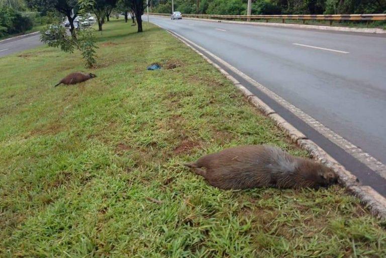 Três capivaras foram mortas a tiros no Lago Sul, Distrito Federal?