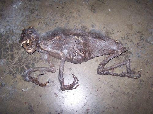Restos mortais de um chupacabras finalmente encontrado! Verdadeiro ou falso? (foto: Reprodução)
