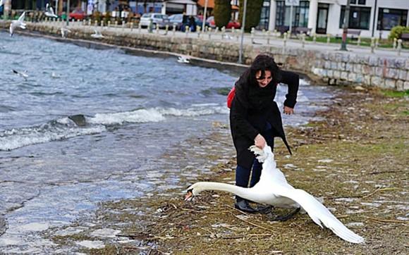 Turista mata um cisne após tirar selfies com ele! Será verdade? Foto: Reprodução/Facebook)