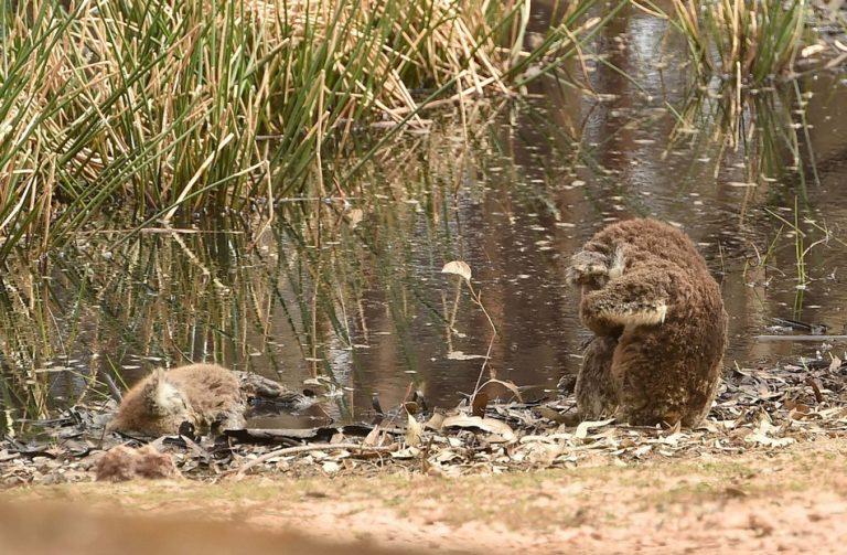 Foto mostra um coala velando um outro coala morto pelos incêndios na Austrália?