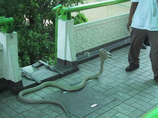 Cobra rara de cinco cabecas - foto 1