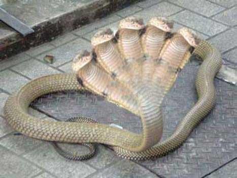 Cobra rara de cinco cabecas - foto 3