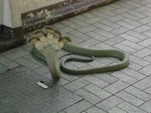 Cobra rara de cinco cabecas - foto 2
