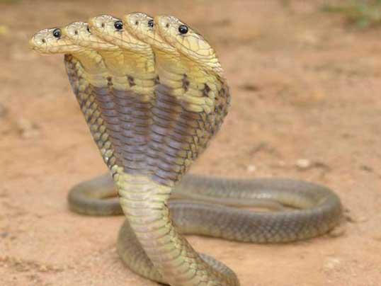 Cobra rara de cinco cabecas - foto 4