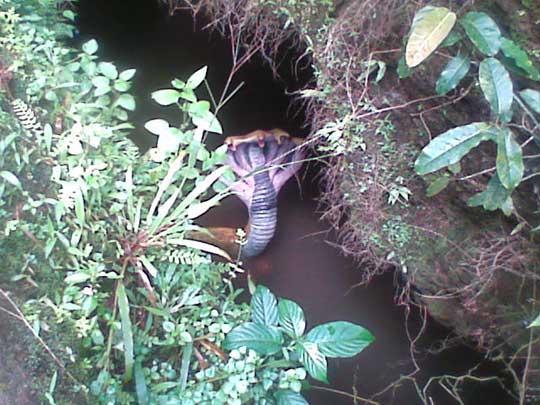 Cobra rara de cinco cabecas - foto 5