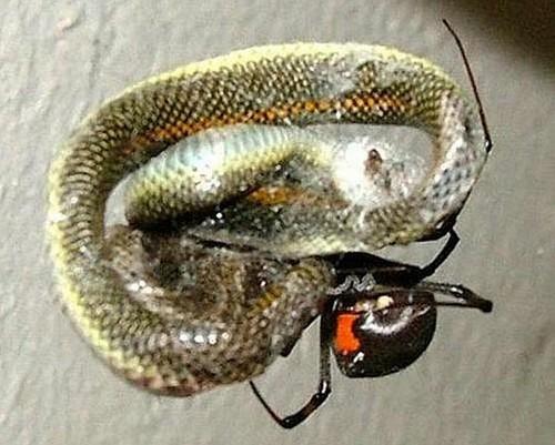 Cobra é presa de aranha! Verdadeiro ou farsa?