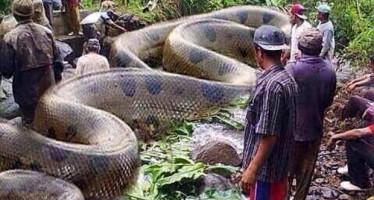 Cobra gigante teria sido encontrada e morta em Rondônia! Será verdade? (Foto: Reprodução/Facebook)