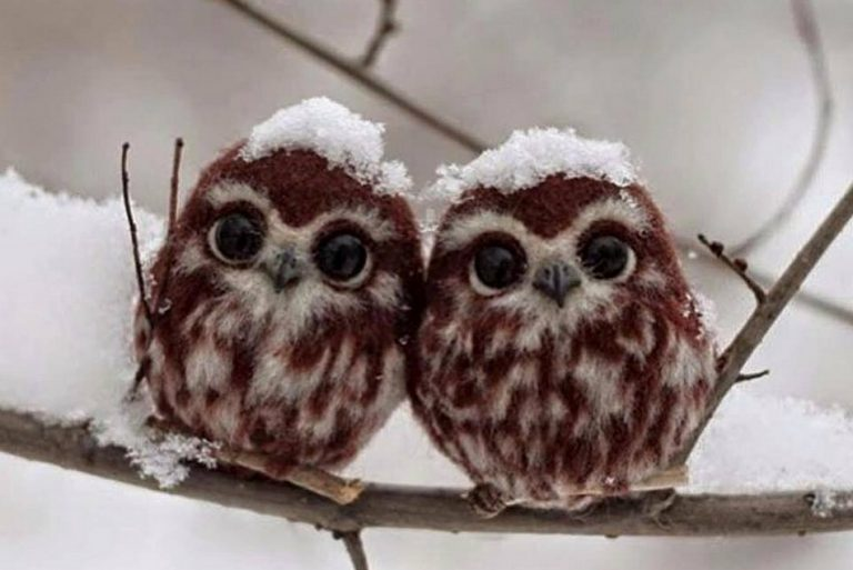 Foto de corujinhas em meio a neve é verdadeira ou falsa?