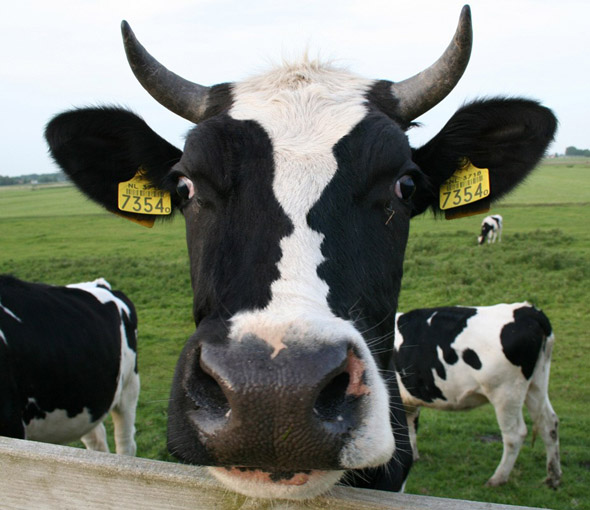 cow-optical-illusion