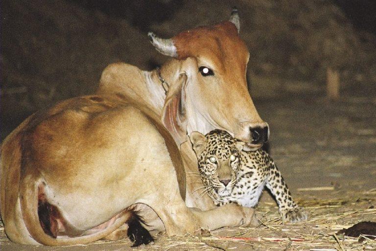 Uma onça-pintada resolveu se aquecer ao lado de uma vaca no Oeste da Bahia?
