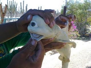 cyclops shark - O Tubarão de apenas um olho! Será verdade?