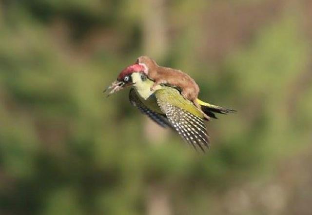 Doninha viajando nas costas de um pica-pau! Será que essa foto é verdadeira ou falsa? (foto: Reprodução/Twitter)