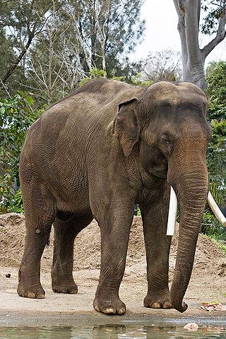 Elefante africano (Wikipédia)