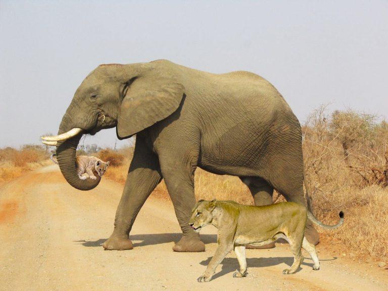 Foto mostra um elefante salvando filhote de leoa! Será verdade?