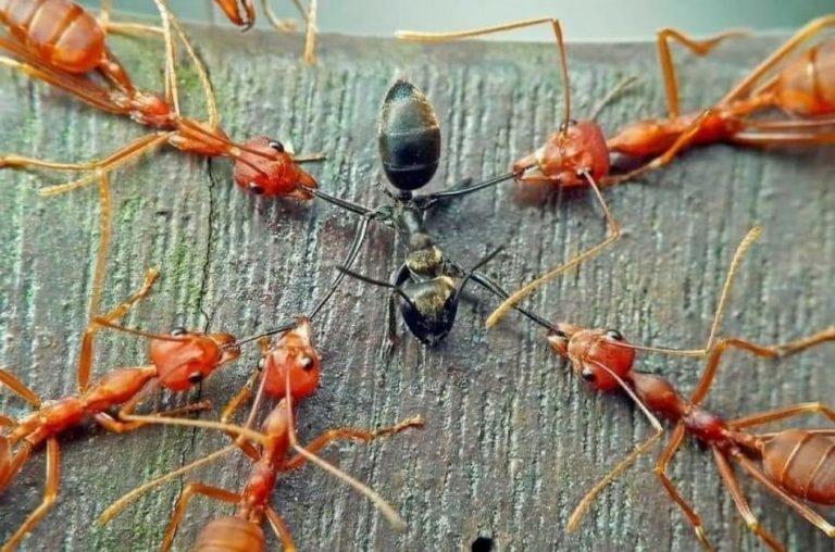 """A verdade sobre a """"fábula"""" das formigas vermelhas e pretas que viralizou nas redes sociais!"""