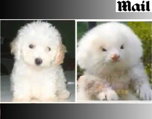 Poodle toy e o furão que foi vendido em seu lugar! História verdadeira ou falsa? (Reprodução/Daily Mail)