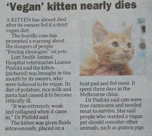 Gato quase morre após passar por dieta vegetariana! Verdadeiro ou falso? (foto: Reprodução/Twitter)