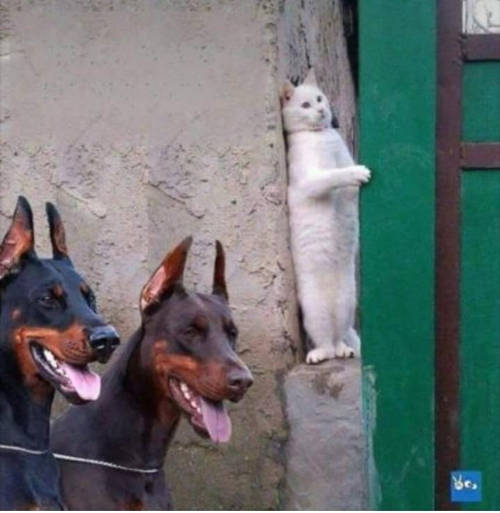Gato aparece em foto se escondendo de dobermans! Será verdade?