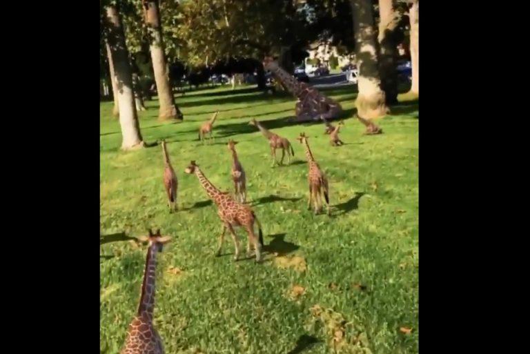 Vídeo mostra dezenas de bebês girafas! Será verdade?
