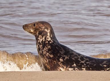 grey-seal