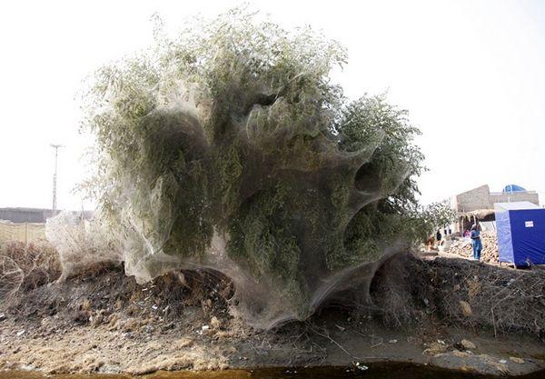 Árvores cobertas de teias de aranha no Paquistão - Foto 1