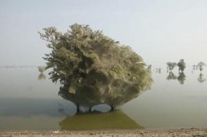Árvores cobertas de teias de aranha no Paquistão - Foto 2