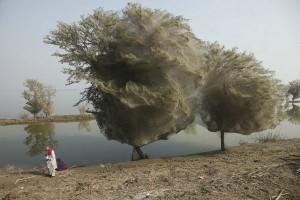 Árvores cobertas de teias de aranha no Paquistão - Foto 3