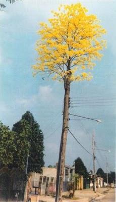 Ipe amarelo teria renascido depois de ter sido cortado virado poste de luz!