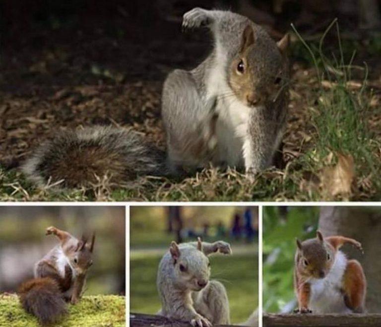 É falso que os esquilos façam pose de super-herói ao caírem no chão