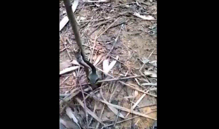 """A verdade sobre a """"árvore com cabeça de cobra"""" que viralizou nas redes sociais!"""