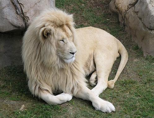 Leão branco (Reprodução)