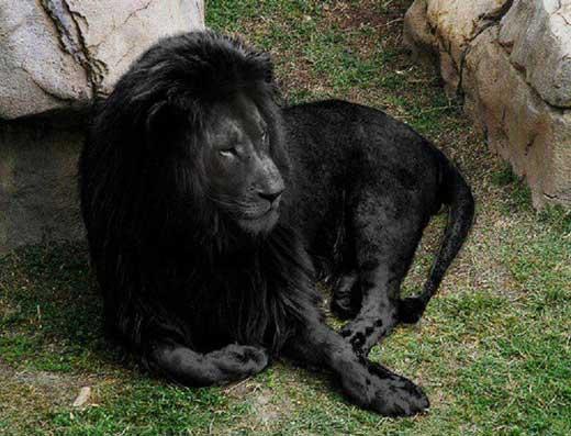 Leão preto aparece no Facebook! Será?
